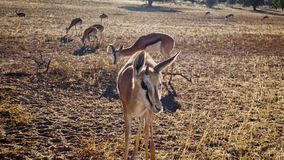 Antilope saltante curiosa che si avvicina alla macchina fotografica immagini stock libere da diritti