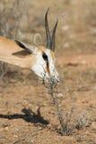 Antilope saltante d'alimentazione Fotografia Stock