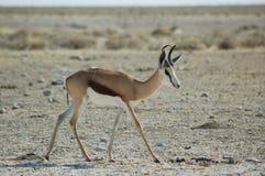 Antilope saltante in Etosha Fotografie Stock Libere da Diritti