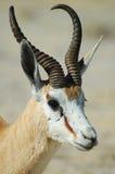 Antilope saltante in Etosha Fotografia Stock Libera da Diritti
