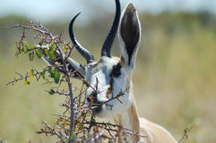 Antilope saltante in Etosha fotografie stock