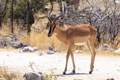Antilope saltante in Etosha Immagine Stock Libera da Diritti