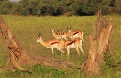 Antilope saltante - fondo della fauna selvatica - ritratto della natura Fotografie Stock Libere da Diritti