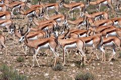 Antilope saltante in Kalahari Fotografia Stock Libera da Diritti