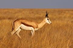 Antilope saltante maschio fotografia stock libera da diritti