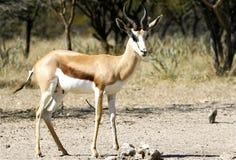 Antilope saltante maschio Fotografie Stock Libere da Diritti