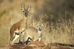 Antilope saltante maschio e femminile Immagini Stock Libere da Diritti