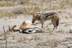 Antilope saltante morta della preda dello sciacallo, Namibia Fotografie Stock