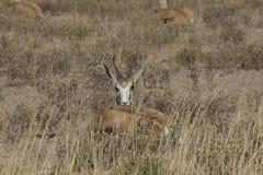 Antilope saltante, Namibia Immagine Stock Libera da Diritti