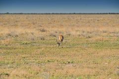 Antilope saltante per mangiare erba su pane namibiano l'africa immagini stock
