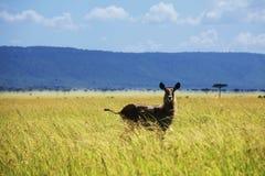 Antilope in savanna Fotografia Stock Libera da Diritti