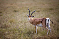 Antilope seen on a safari in Africa. An antilope on a safari in Serengeti National park, Africa Stock Photography