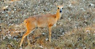 antilope selvaggia Fotografia Stock