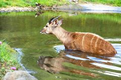 Antilope selvaggia Fotografie Stock
