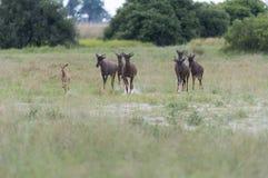 Antilope som skrämmas av cheetahen Arkivfoto