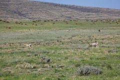 Antilope sulla prateria Fotografia Stock Libera da Diritti