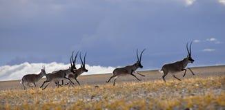 Antilope tibetana Immagini Stock