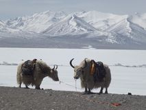 Antilope tibetana Fotografia Stock Libera da Diritti