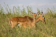 Antilope tijdens een spelaandrijving die wordt bevlekt royalty-vrije stock afbeelding