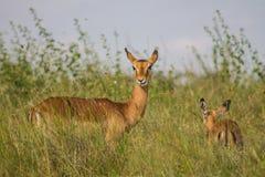 Antilope tijdens een spelaandrijving die wordt bevlekt stock foto
