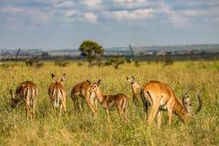 Antilope tijdens een spelaandrijving die wordt bevlekt stock foto's