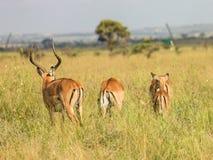 Antilope tijdens een spelaandrijving die wordt bevlekt stock fotografie