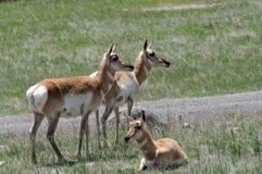 antilope tre Immagini Stock Libere da Diritti