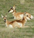 Antilope trois se trouvant paisiblement un jour chaud d'été en Orégon central Image libre de droits