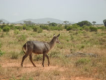 Antilope. In Tsavo East park Royalty Free Stock Photos