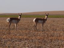 Antilope twee Stock Foto's