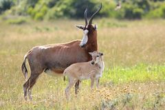 Antilope und Kalb Blesbok Stockfotos