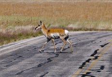 Antilope, welche die Straße kreuzt stockbilder
