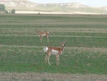 Antilope zwei auf einem Gebiet Stockfotos