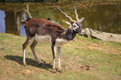 Antilopecervicapra Stock Afbeelding
