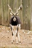 Antilopecervicapra of blackbuck Royalty-vrije Stock Afbeeldingen