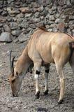 Antilopeelandantilope Royalty-vrije Stock Afbeeldingen