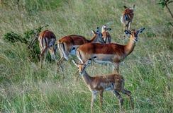 Antilopefolkmassa i Kenya, Afrika Royaltyfria Bilder