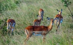 Antilopefolkmassa i Kenya, Afrika Royaltyfri Bild