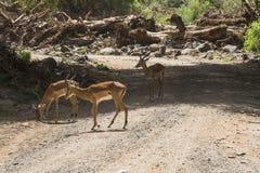 antilopeimpala in Tanzania royalty-vrije stock afbeelding
