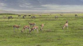 antilopeimpala in Tanzania royalty-vrije stock afbeeldingen
