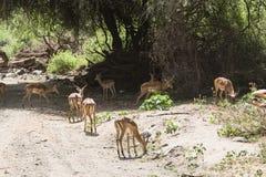 antilopeimpala in Tanzania royalty-vrije stock foto