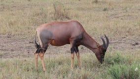 Antilopekongoni die gras eten stock videobeelden