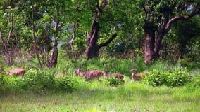Antilopekudde stock videobeelden