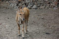 Antilopeland Arkivbild
