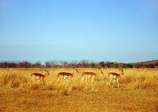 Antilopen Royalty-vrije Stock Afbeelding