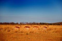 Antilopen Royalty-vrije Stock Fotografie