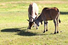 antilopen Stockbilder