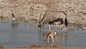 Antilopen bij waterhole stock videobeelden