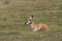 Antilopen-Damhirschkuh-Stillstehen Lizenzfreie Stockfotos
