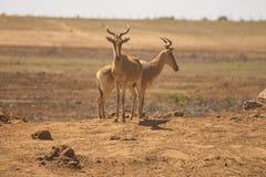 Antilopen die in de wildernis worden bevlekt stock foto's